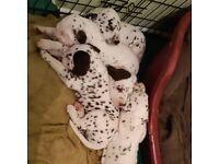 KC reg Dalmatian puppies