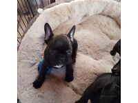 Ready for there forever homes French bulldog puppys