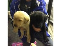 6 Labrador Retriever Puppies (KC registered)