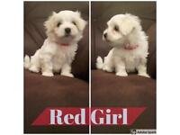 2 x Beautiful Female Maltese Terriers