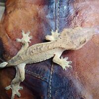 More stunning Quested Gecko cresties!