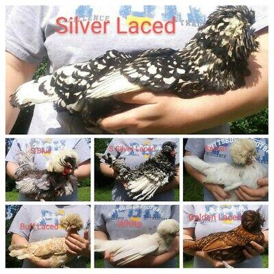 61 Show Frizzle And Smooth Polish Bantam Fertile Hatching. Eggs