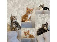 Beautiful Kittens 8 weeks old