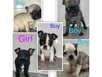 French bulldog x pug puppies for sale