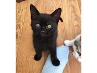 Beautiful, fluffy kitten for sale