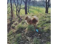Pomeranian boy