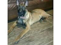 Belgium shepherd puppy