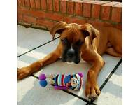 Boxer dog looking for a new home :)