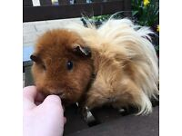 Rehoming Guinea pigs