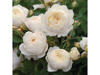Gardener required / Rose garden/ Rose Pruning
