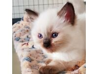 One outstanding GCCF registered Ragdoll kitten left
