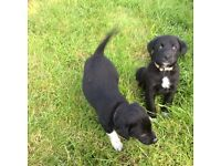 Gorgeous Collie Labrador cross pups