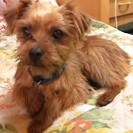 5 month old yorky poo
