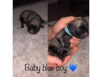 Pug Puppies for sale rare colours