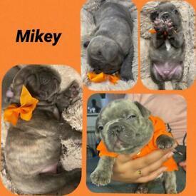 3 male frenchbulldog puppies