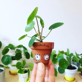 Robust baby Pileas for sale!