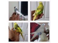 Semi-tame budgies regular and exhibition many colour birds for sale and cage