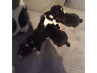 4 beautiful bitch brindle staff puppies!! Ready 2nd November💖