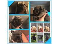 French bulldog pups Frenchie