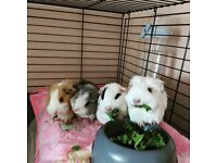 4 girls and 2 boys to re-home to go to loving homes. Selling due to discovering I'm allergic! :(