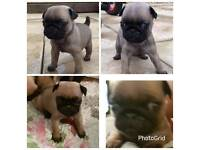 Pug puppy kc reg female