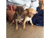 Pug x Chihuahua puppies ready now . 2 males available now