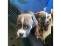 American Bully x Staff pups
