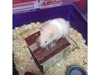 Syrian hamster 18 months old free to a good home