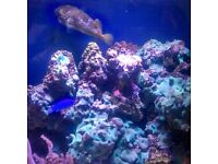 15kg live rock for marine tank. Bargain at only £50 or may swap for marine fish or coral