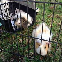 Female Guinea Pigs with hutch and accessories Mitcham Mitcham Area Preview