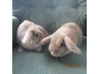 Baby dwarf rabbits - orange and grey - healthy and tame