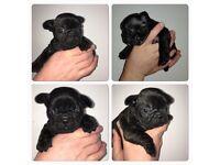 Kc French bulldog puppy £1200
