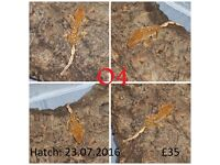 Various Baby Crested Geckos (Unsexed)