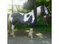 12.3 eyecatching piebald mare for sale