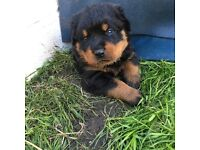 Rottweiler puppies 5 bitches 4 dogs