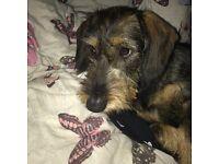 Wire-haired dachshund cross