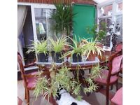 spider plants £10 Each
