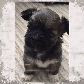 Two stunning Lhasa Apso puppies for sale
