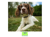 Oakley - Springer Spaniel - 6 Years 4 Months Old - Looking for his Forever Home