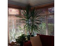 Very large yucca plant, approx 6ft in height.