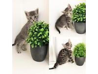 Beautiful tabby/Grey kittens ready now 8 weeks old