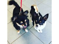 Two young male chihuahuas for sale - open to offers