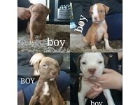 American bulldog x french mastiff