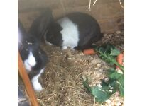 Rabbits forsale collection only from Torquay