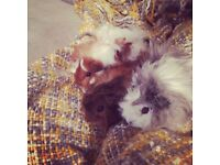 Beautiful female guinea pigs needing forever homes!