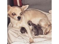 Blue and tan chihuhua puppies for sale