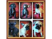 READY NOW !!! FRENCH BULLDOG PUPPIES FOR SALE