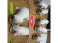 KC Registered English Bull Terrier Gorgeous Puppies