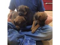 Border Terrier Pups 9 Weeks Old