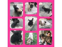 2 kc reg beautiful french bulldog puppies